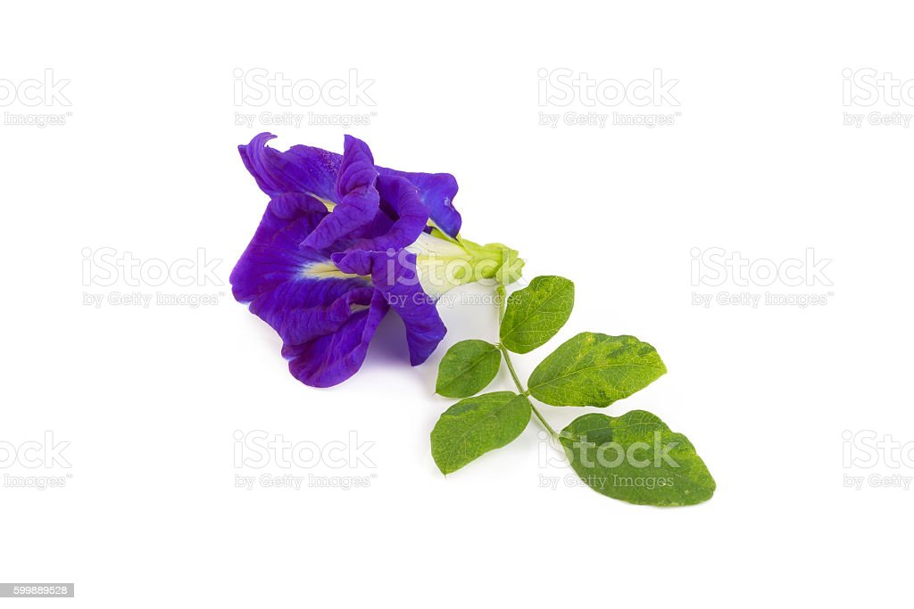 Pea flower or anchan flowers on white background stock photo