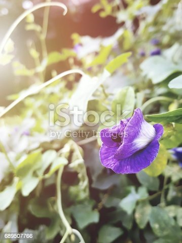 Pea flower is used to make herbal water and dye fabric,