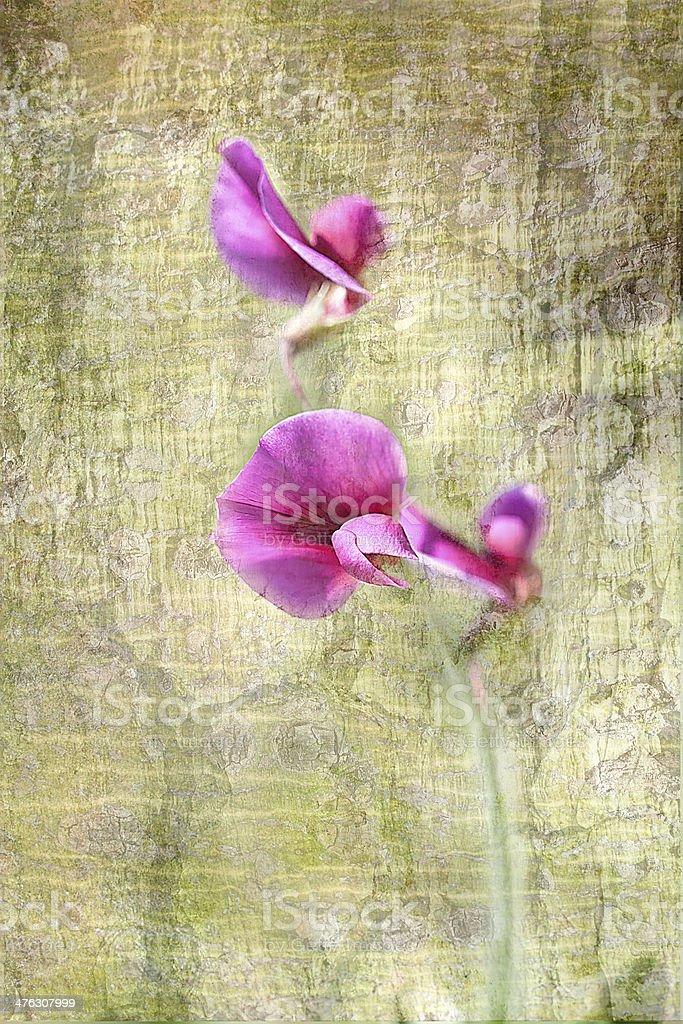 Pea flowers. stock photo
