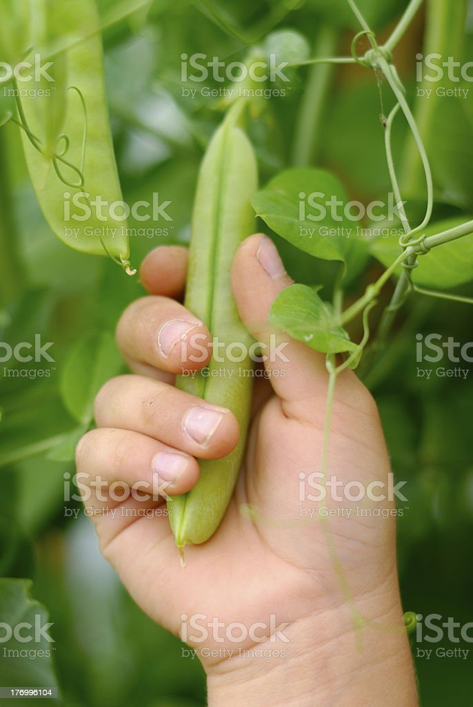Pea Grasp royalty-free stock photo