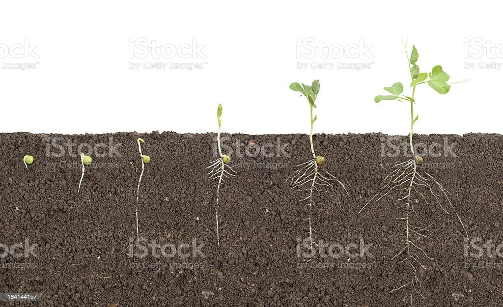 pea growth stock photo