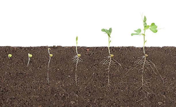 pea growth - pea sprouts bildbanksfoton och bilder