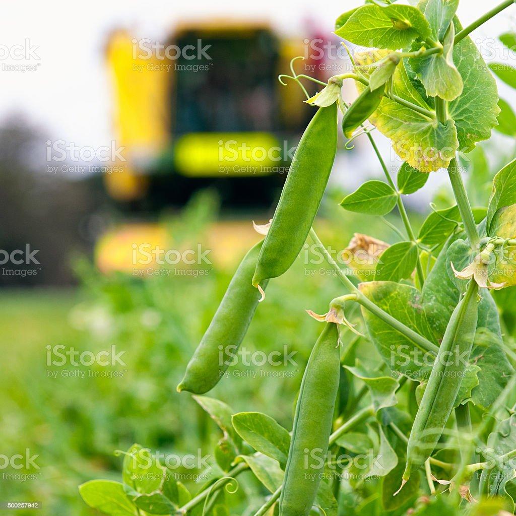 Pea Harvesting close-up stock photo