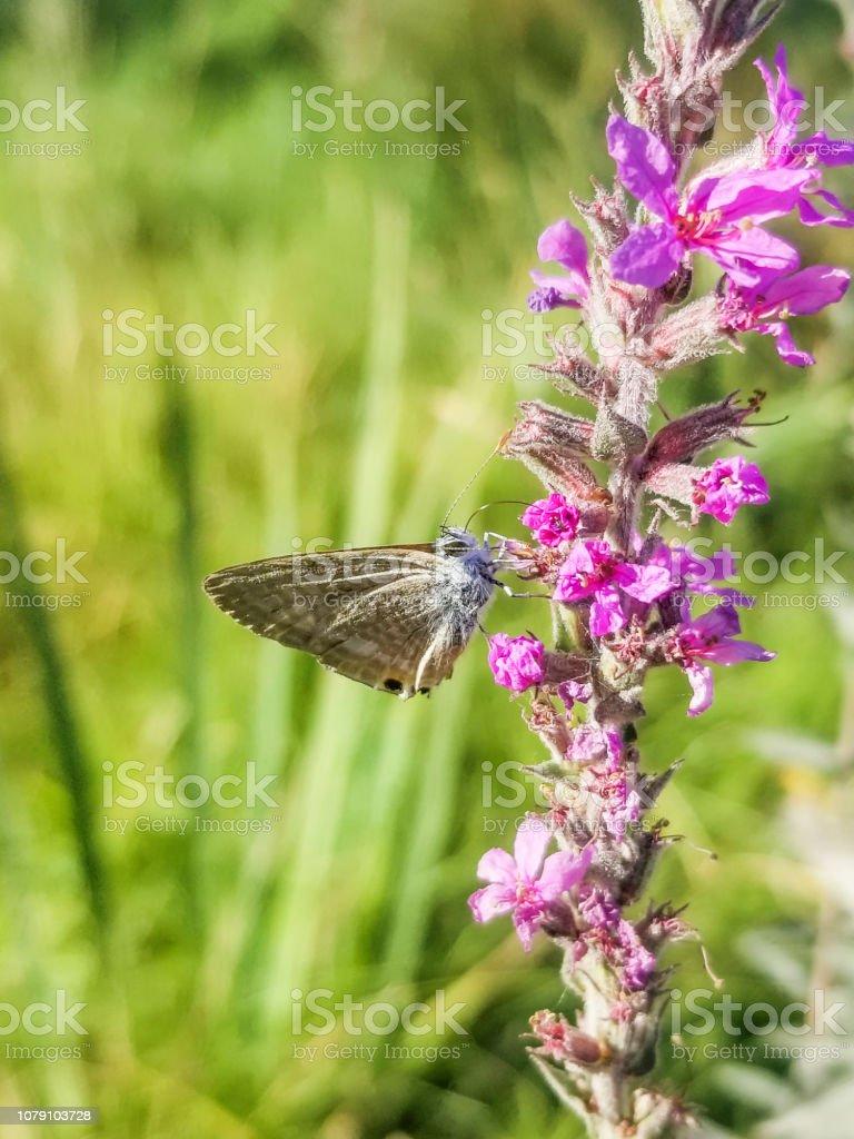 Guisante o mariposa azul cola larga - foto de stock