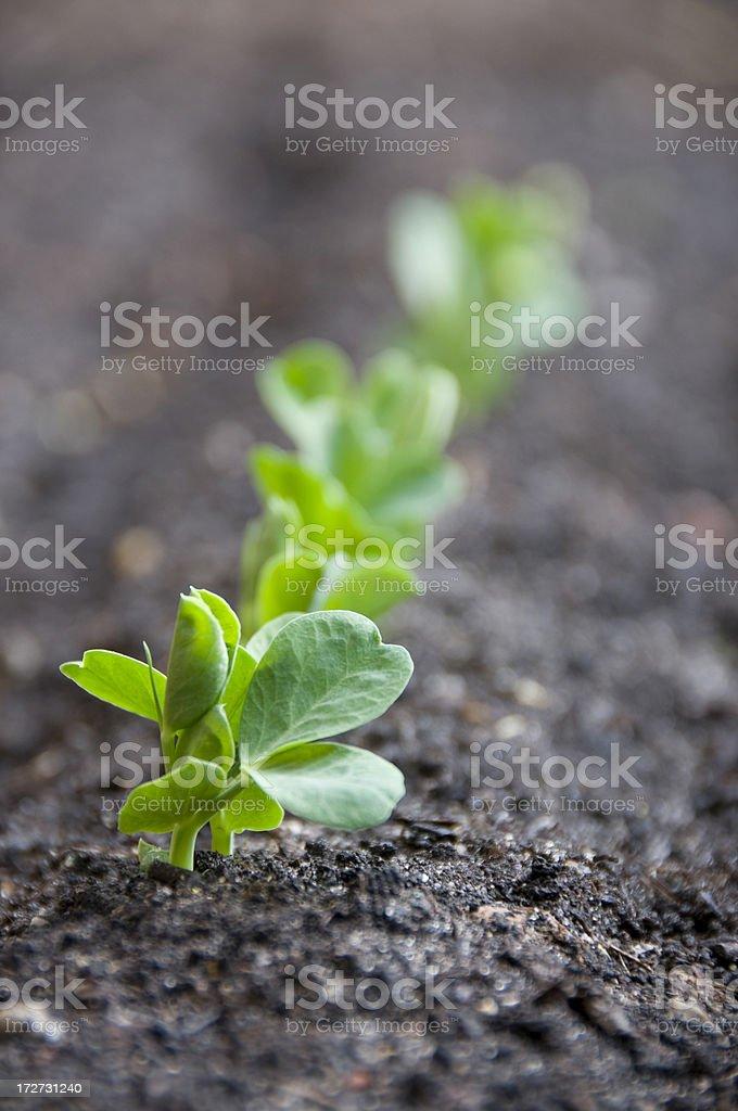 Pea Seedlings royalty-free stock photo