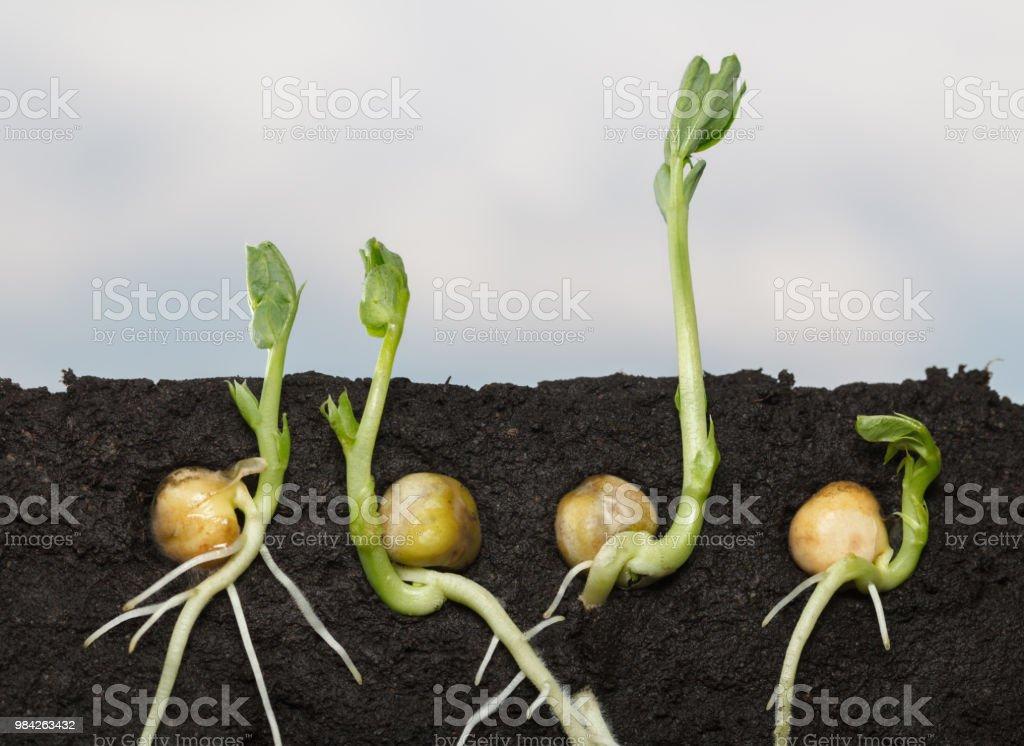 Pea seedlings side cut stock photo