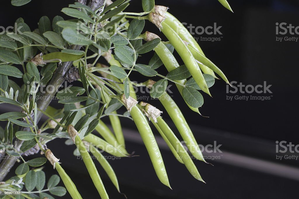 Pea shrub royalty-free stock photo