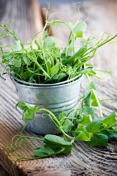 pea sprout - pea sprouts bildbanksfoton och bilder