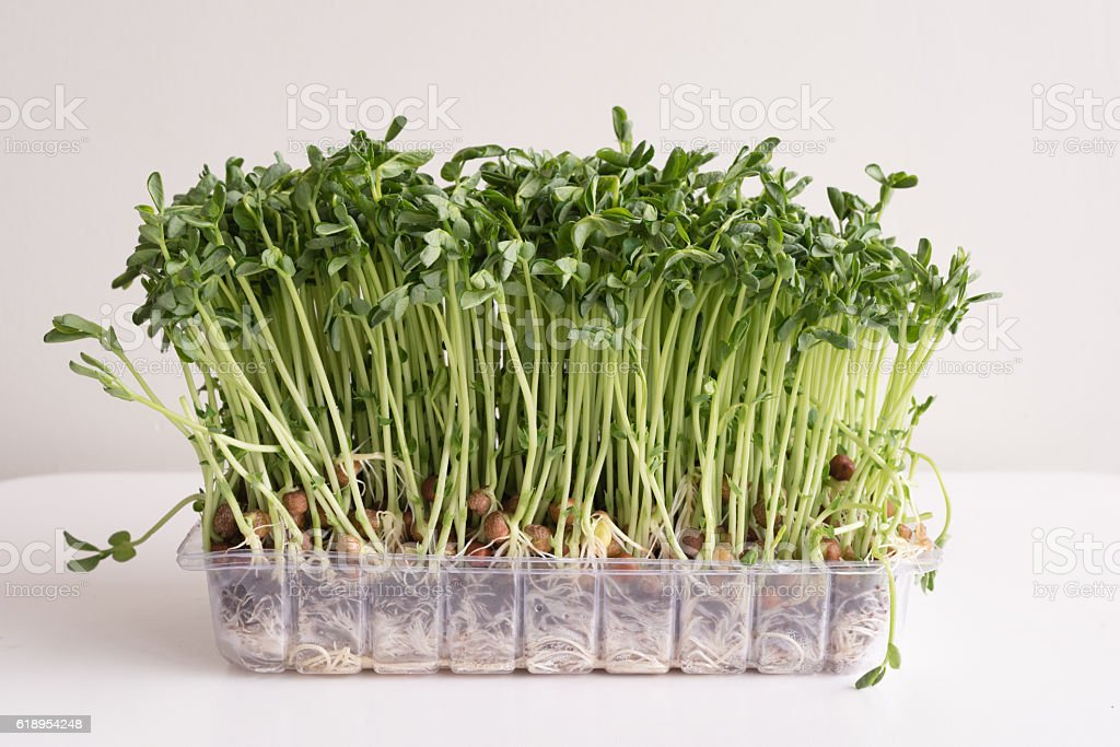 Pea sprouts in plastic container stock photo