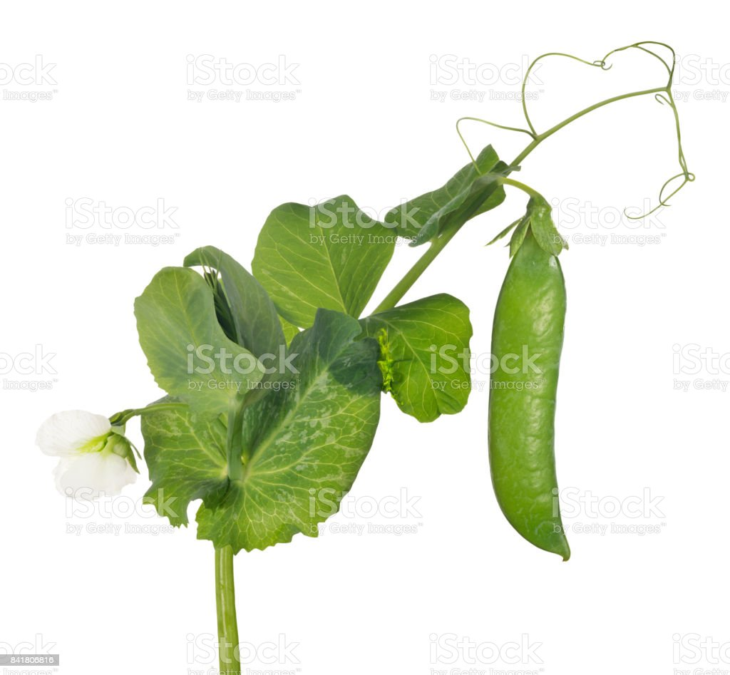 pea stem with flower and green pod stock photo