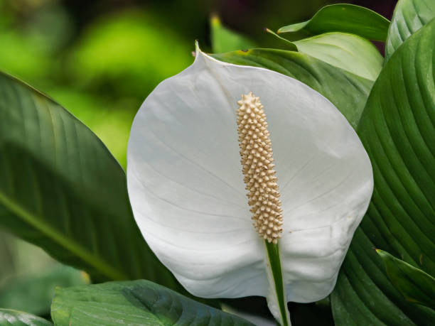 Peace Lily Houseplant White with Green Leaf Background stock photo