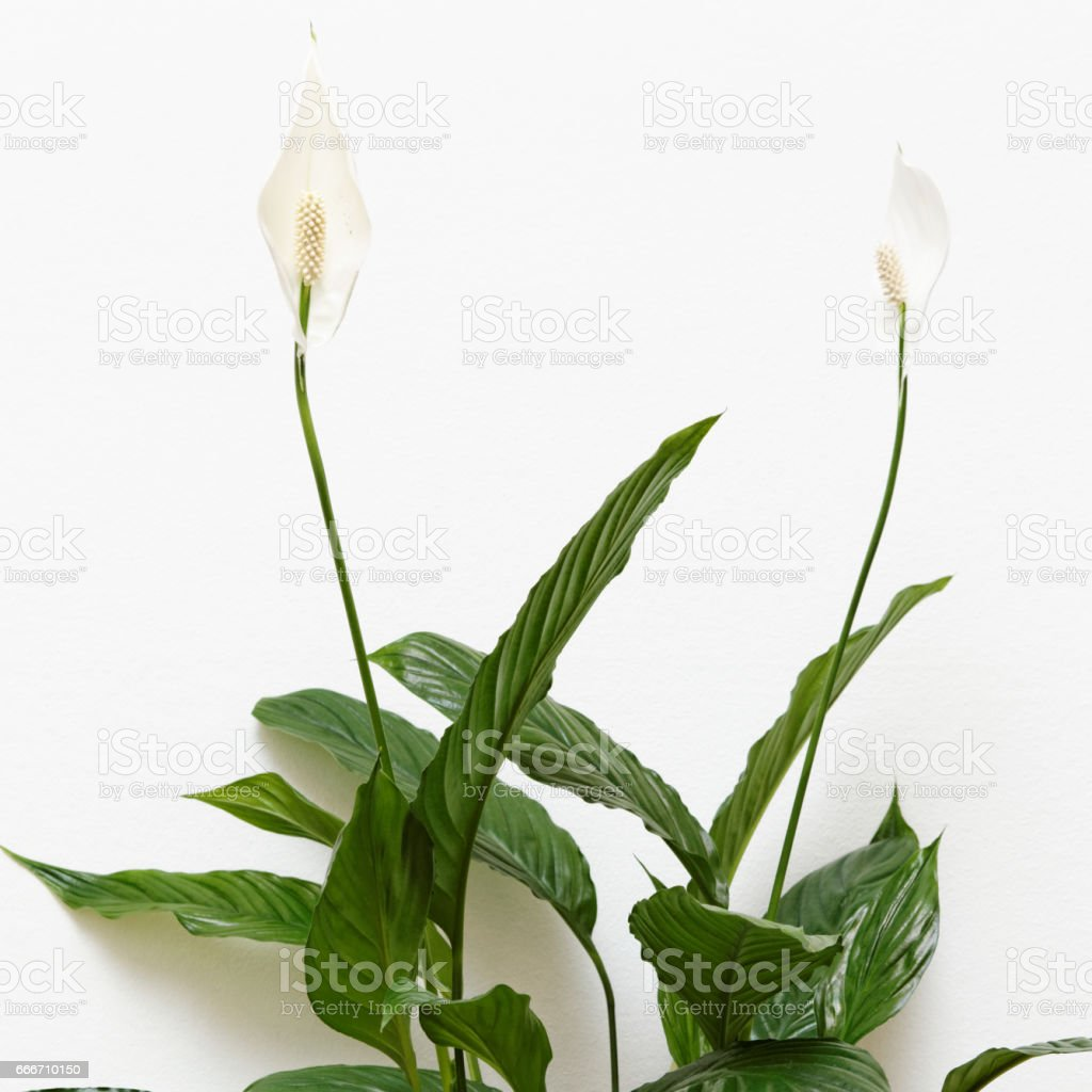 Peace Lily Plant Over White Wall Stock Photo More Pictures Of