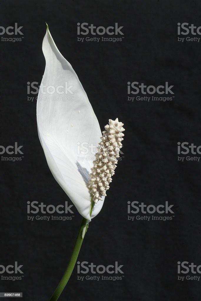 Lila de la paz-Spatiphyllum floribundum foto de stock libre de derechos
