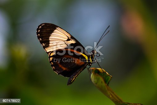 Tropical butterfly dido longwing on the green leaf. Macro photography of wildlife.