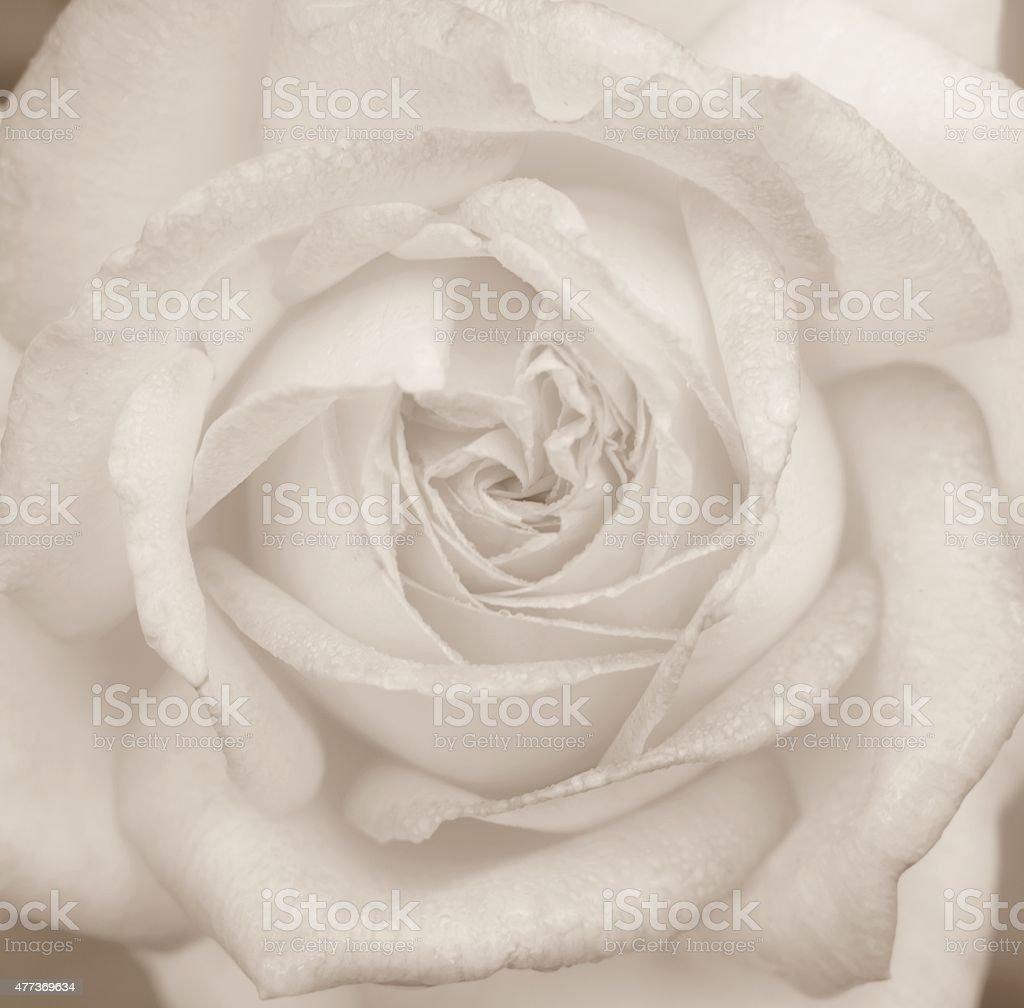 Peace Rose, Close up. stock photo
