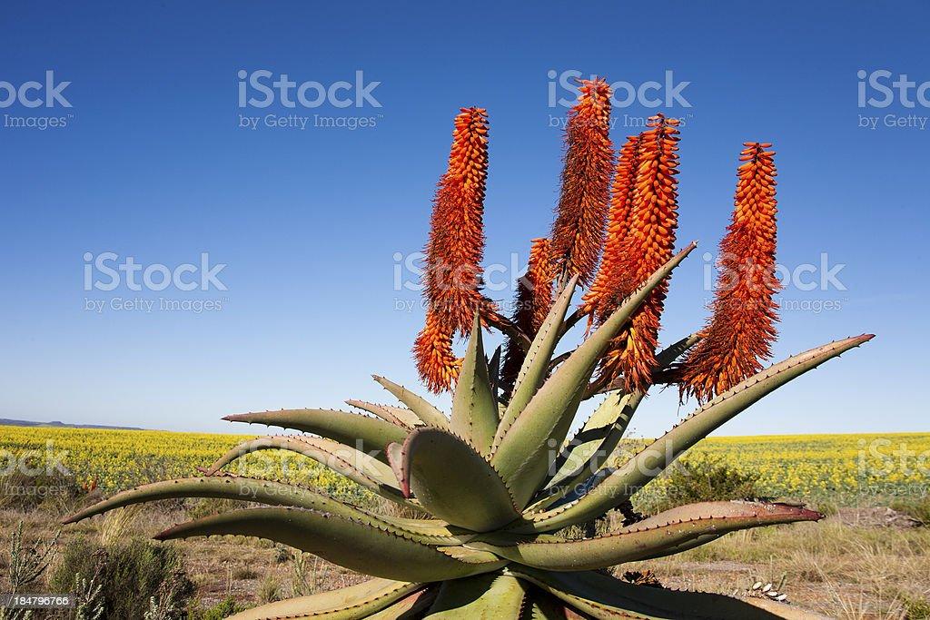 A Peaceful Aloe Ferox Plant, South Africa stock photo