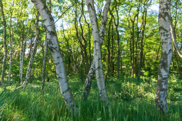 Peaceful and idyllic view of birch trees, Bornholm, Denmark on a day in summer stock photo