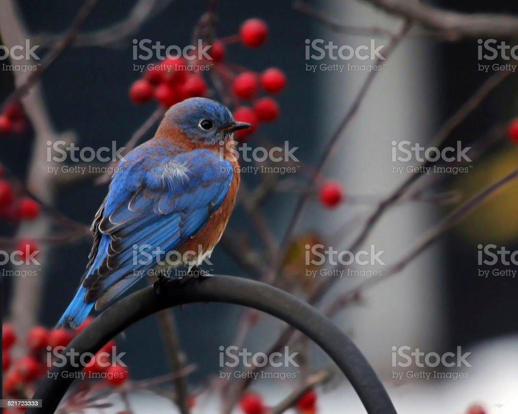 Peaceful Bluebird stock photo