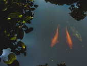 Colored carp glide across a small lake, giving a sense of peace and tranquility