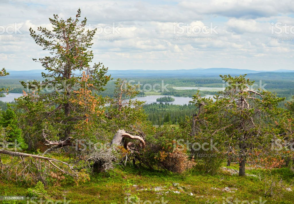 Peaceful evergreen trees in the clean and green nature landscape stock photo