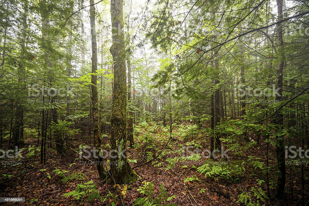Peaceful Forest stock photo