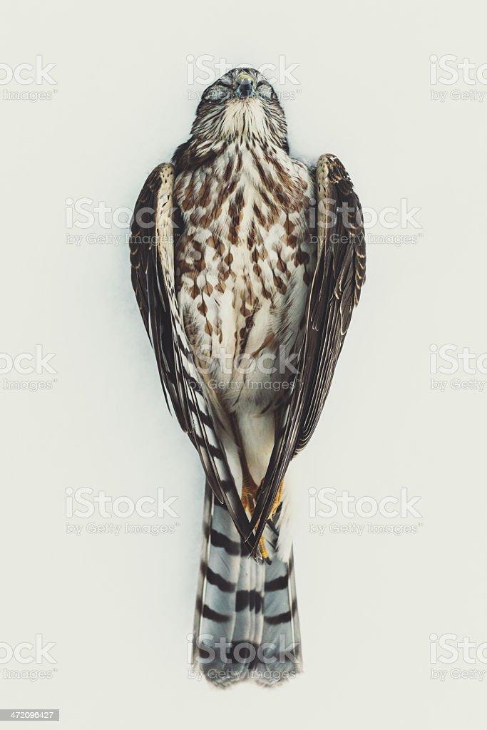 Peaceful Hawk in Snow stock photo