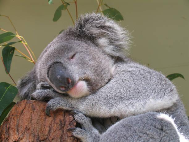 Friedliche Koalabär – Foto