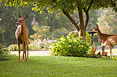 A doe stands guard as her fawns drink from a bird bath.  Taken at dawn on dew covered grass.  Blurred background.  More beautiful deer: