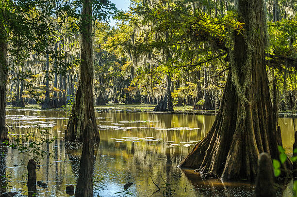 peaceful nature - cypress tree stock photos and pictures