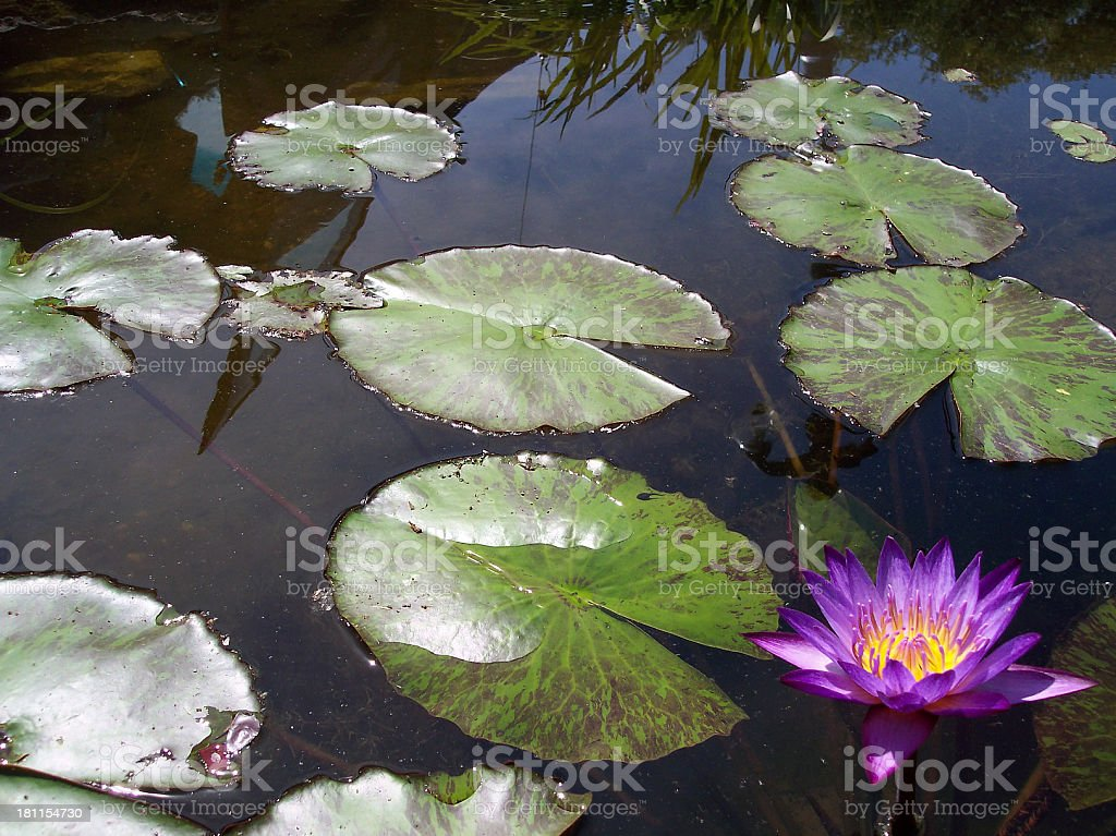 Peaceful Pond with Purple Lotus royalty-free stock photo