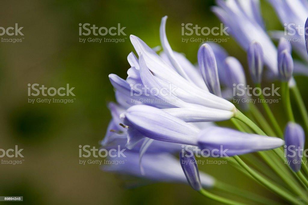 Peaceful Purple Flower royalty-free stock photo