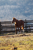 Thoroughbred horse looking over wooden corral fence. Purebred horse peaceful standing  in front of wooden corral fence