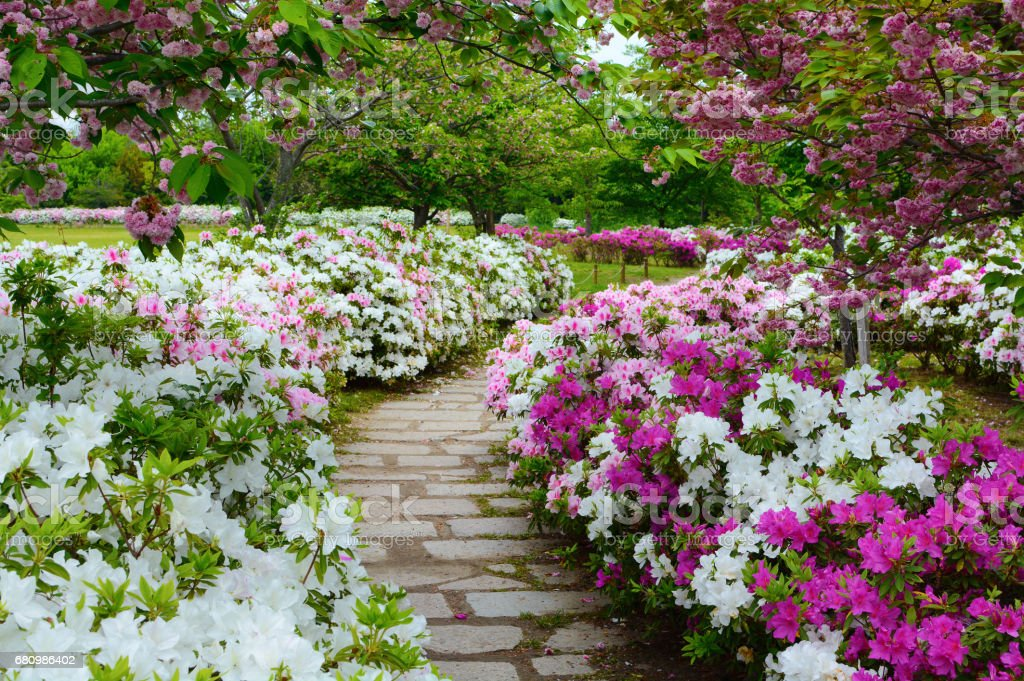 Peaceful Stone Walking Path In A Garden Of Spring Azalea Flowers And Plum  Blossoms Royalty