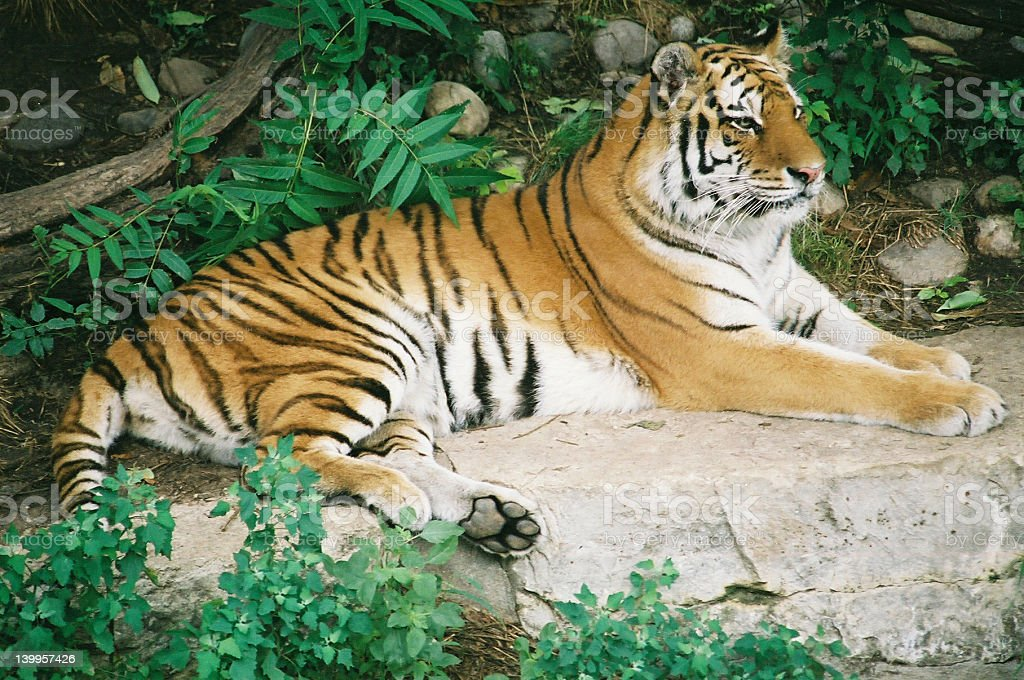 Peaceful Tiger royalty-free stock photo