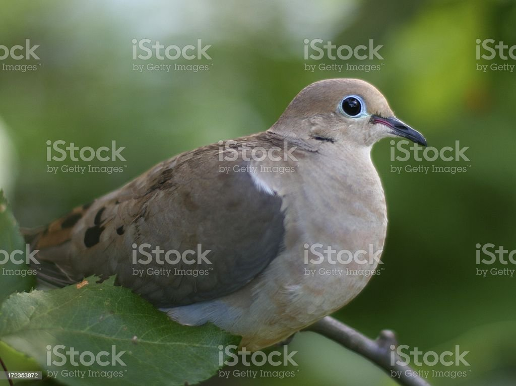 Peaceful turtle-dove female resting royalty-free stock photo
