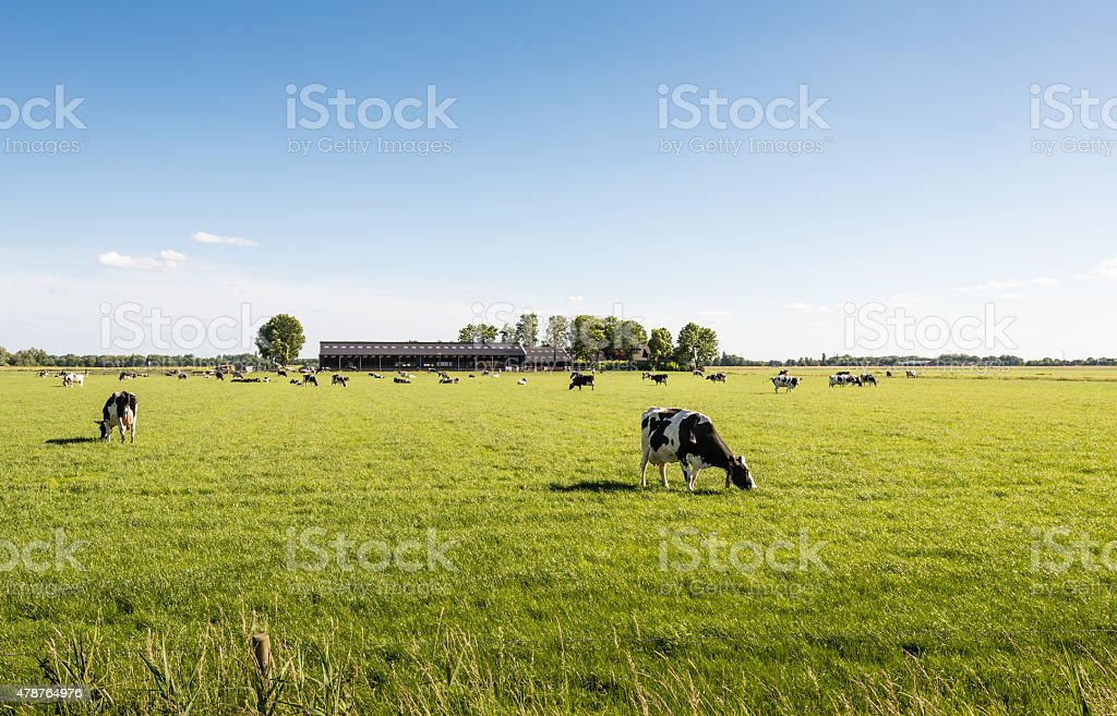 Peacefully grazing cows in a large meadow stock photo
