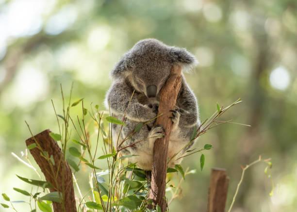 Peacefully sleeping koala on a tree trunk stock photo