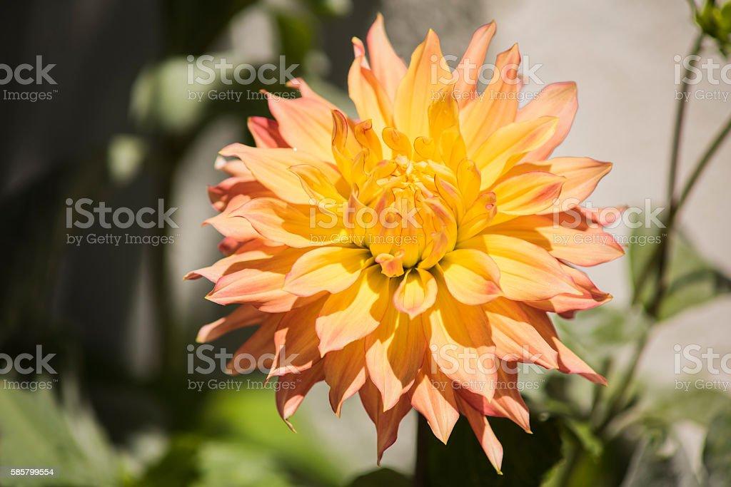 Peach and yellow dahlia in sunlight stock photo