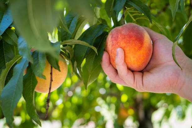 Peach Being Picked off the Tree stock photo