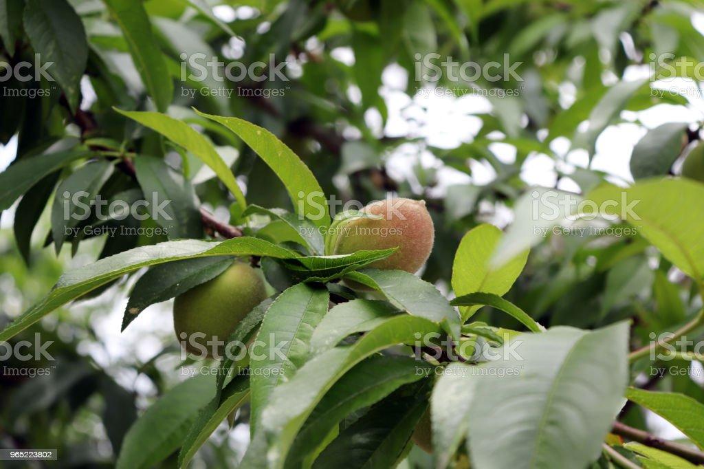 Peach berries beginning to ripen. A close-up image of the peach fruit zbiór zdjęć royalty-free