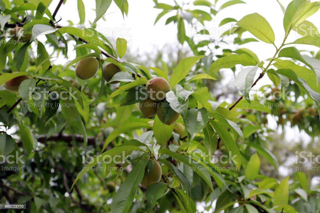 Peach berries beginning to ripen. The beginning of summer. zbiór zdjęć royalty-free