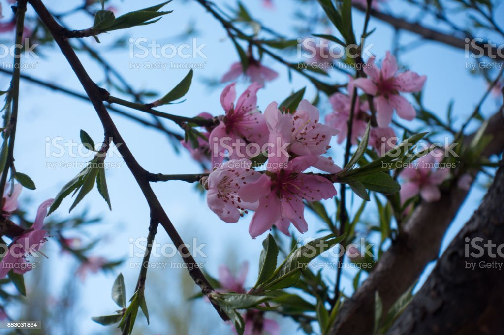 Peach bloom against the sky in spring stock photo