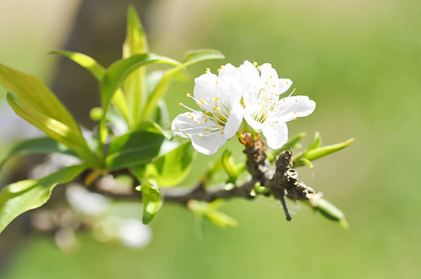 peach blossom flower stock photo