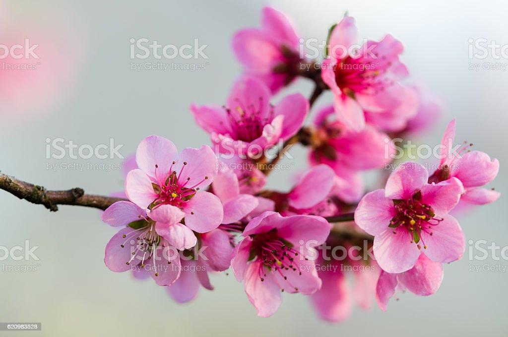 Peach blossom na primavera nos EUA de. foto royalty-free