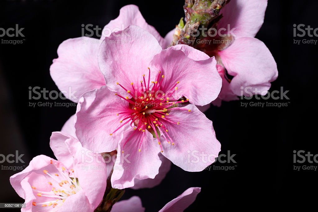 Peach blossom in the greenhouse royalty-free stock photo