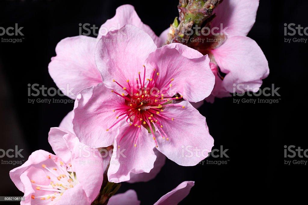Peach blossom in the greenhouse stock photo