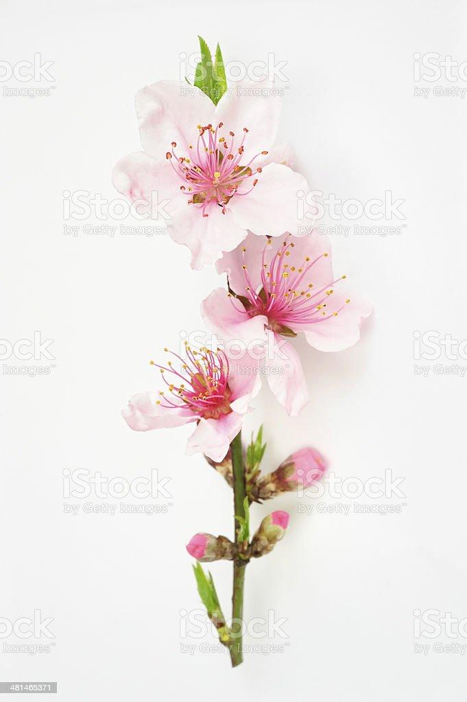 Peach blossom isolated stock photo