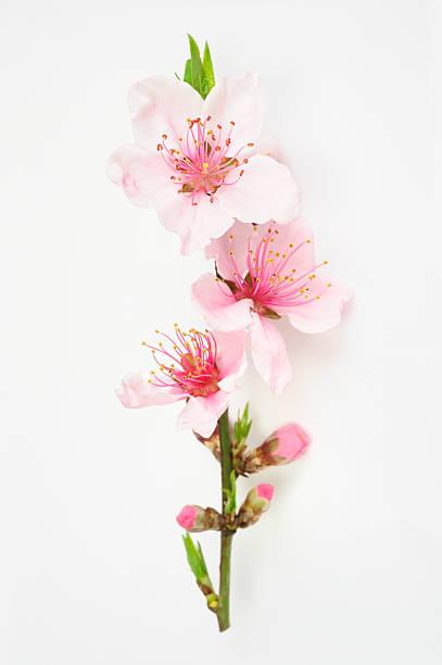 복숭아색 꽃송이 격리됨에 - 암술 뉴스 사진 이미지