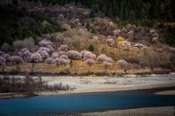 Peach blossom, Nyingchi, Tibet stock photo