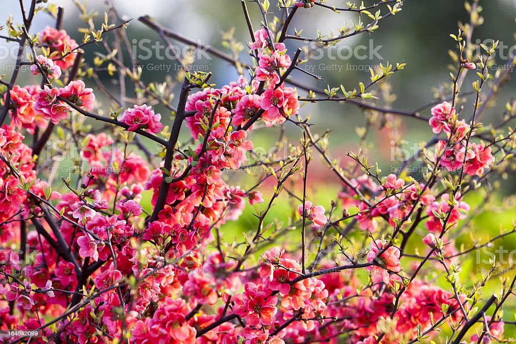 Peach Blossom royalty-free stock photo